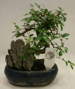 İthal 1.ci kalite bonsai japon ağacı  Muş çiçek satışı