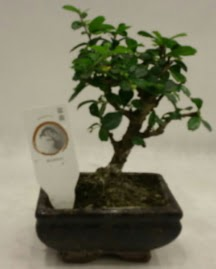 Küçük minyatür bonsai japon ağacı  Muş çiçek gönderme