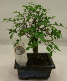 Minyatür ithal japon ağacı bonsai bitkisi  Muş çiçek satışı