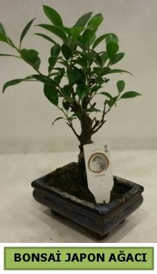 Bonsai japon ağacı saksı bitkisi  Muş çiçek servisi , çiçekçi adresleri