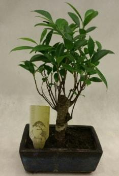 Japon ağacı bonsai bitkisi satışı  Muş çiçekçi telefonları