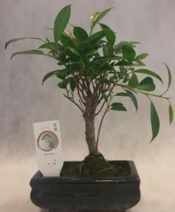Bonsai japon ağacı bitkisi satışı  Muş çiçek gönderme sitemiz güvenlidir