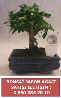 Japon ağacı minyaür bonsai satışı  Muş çiçek satışı