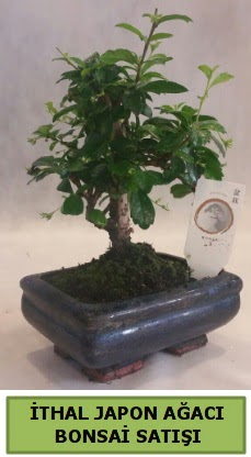 İthal japon ağacı bonsai bitkisi satışı  Muş çiçekçi telefonları