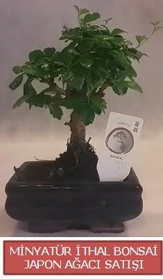 Küçük görsel bonsai japon ağacı bitkisi  Muş çiçek , çiçekçi , çiçekçilik