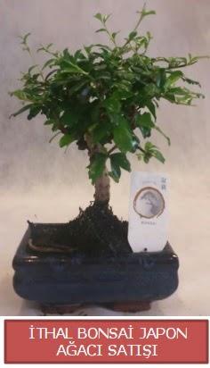 İthal küçük boy minyatür bonsai ağaç bitkisi  Muş çiçekçi telefonları