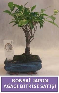 İthal Bonsai japon ağacı bitkisi satışı  Muş İnternetten çiçek siparişi