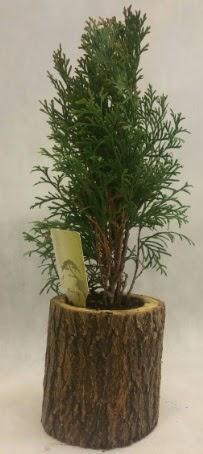 SINIRLI STOK Selvi Bonsai Doğal kütükte  Muş İnternetten çiçek siparişi