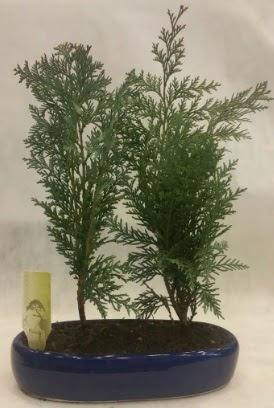 SINIRLI SAYIDA Selvi Ağacı bonsai ikili  Muş çiçekçi telefonları