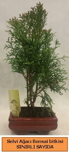 Selvi ağacı bonsai japon ağacı bitkisi  Muş çiçek satışı