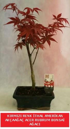 İTHAL ACER RUBRUM BONSAİ AĞACI  Muş çiçek gönderme sitemiz güvenlidir
