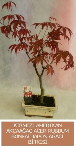 Amerikan akçaağaç Acer Rubrum bonsai  Muş uluslararası çiçek gönderme