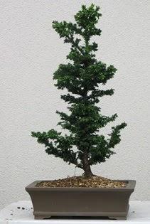 Çam ağacı bonsai bitkisi satışı  Muş çiçekçi telefonları