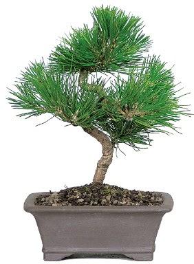 Çam ağacı bonsai japon ağacı bitkisi  Muş çiçek gönderme