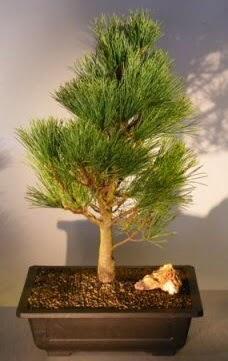 Çam ağacı japon ağacı bitkisi bonsai  Muş çiçekçi telefonları