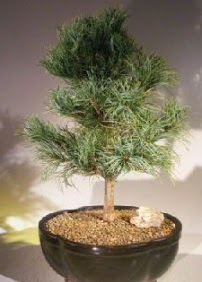 Çam ağacı bonsai bitkisi satışı  Muş ucuz çiçek gönder