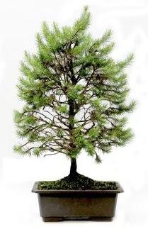 *** STOKTA YOK - Çam ağacı bonsai bitkisi satışı  Muş cicekciler , cicek siparisi