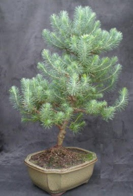 Bonsai çam ağacı japon ağacı bitkisi  Muş çiçek gönderme sitemiz güvenlidir