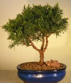 Servi çam bonsai japon ağacı bitkisi  Muş çiçek yolla