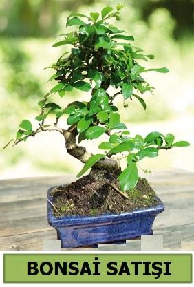 Çam bonsai japon ağacı satışı  Muş çiçek satışı