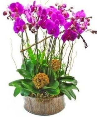 Ahşap kütükte lila mor orkide 8 li  Muş internetten çiçek satışı