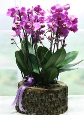 Kütük içerisinde 6 dallı mor orkide  Muş ucuz çiçek gönder