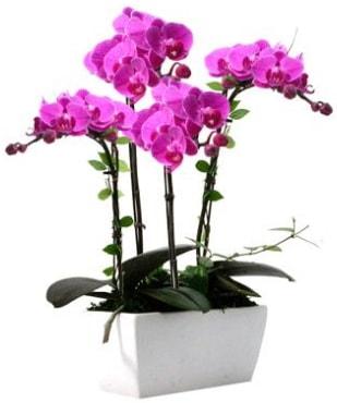 Seramik vazo içerisinde 4 dallı mor orkide  Muş çiçek satışı