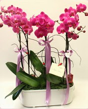 Beyaz seramik içerisinde 4 dallı orkide  Muş ucuz çiçek gönder