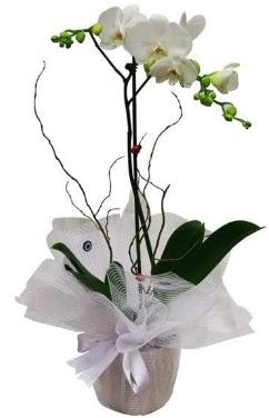 Tek dallı beyaz orkide  Muş cicek , cicekci