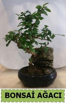 Bonsai ağacı japon ağacı satışı  Muş hediye çiçek yolla