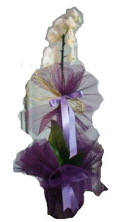 Tek dallı beyaz orkide süper kalite ithal  Muş çiçek siparişi sitesi