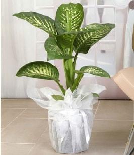 Tropik saksı çiçeği bitkisi  Muş çiçek satışı