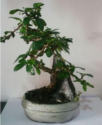 S şeklinde ithal bonsai ağacı  Muş çiçek yolla