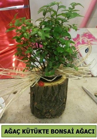 Doğal ağaç kütük içerisinde bonsai ağacı  Muş çiçek gönderme sitemiz güvenlidir
