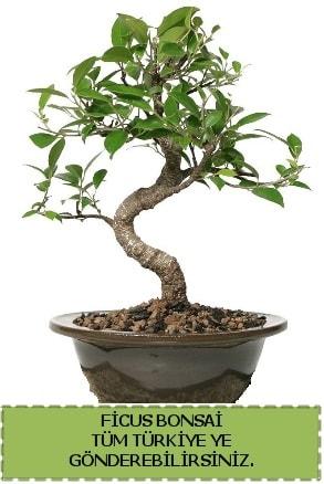 Ficus bonsai  Muş çiçek gönderme sitemiz güvenlidir