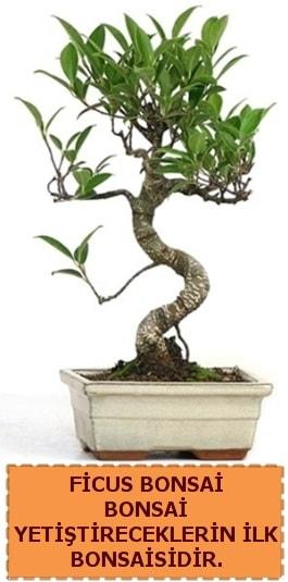 Ficus bonsai 15 ile 25 cm arasındadır  Muş çiçek yolla