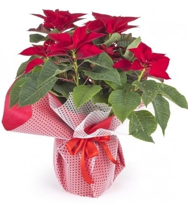 Atatürk çiçeği saksı bitkisi  Muş çiçek gönderme sitemiz güvenlidir