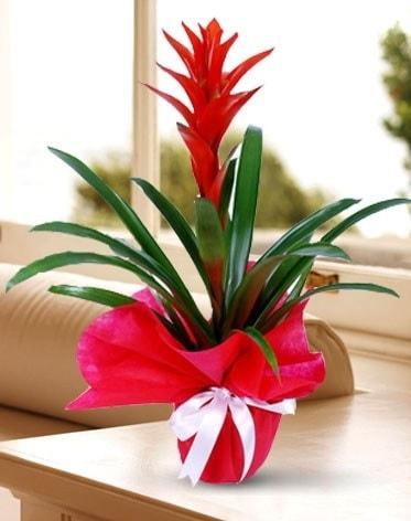 Guzmanya Saksı Çiçeği  Muş çiçek yolla
