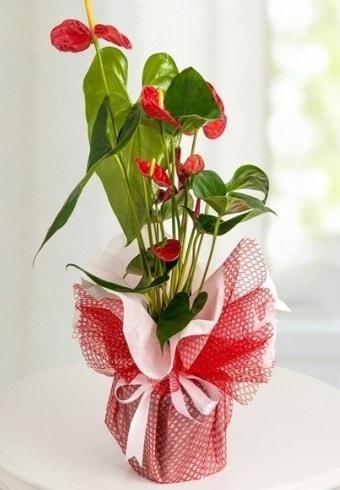 Anthurium Saksı Çiçeği  Muş hediye çiçek yolla