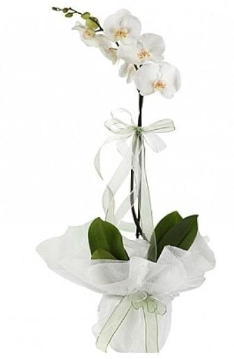 Tekli Beyaz Orkide  Muş hediye çiçek yolla