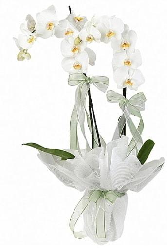 Çift Dallı Beyaz Orkide  Muş anneler günü çiçek yolla