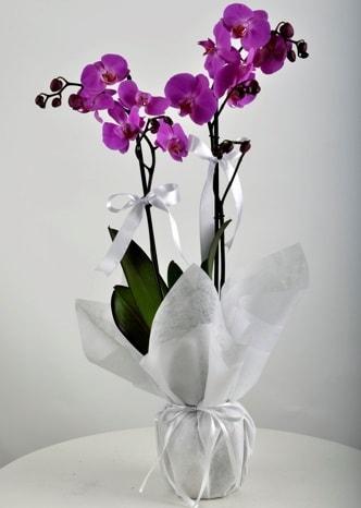 Çift dallı saksıda mor orkide çiçeği  Muş çiçek siparişi vermek