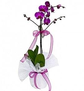 Tek dallı saksıda ithal mor orkide çiçeği  Muş çiçekçiler