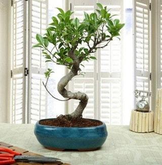 Amazing Bonsai Ficus S İthal  Muş internetten çiçek siparişi