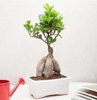 Exotic Ficus Bonsai ginseng  Muş çiçek servisi , çiçekçi adresleri