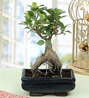 Appealing Ficus Ginseng Bonsai  Muş anneler günü çiçek yolla
