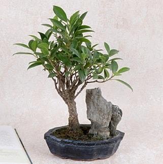 Japon ağacı Evergreen Ficus Bonsai  Muş çiçek gönderme sitemiz güvenlidir