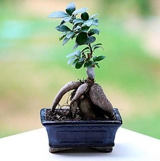 Marvellous Ficus Microcarpa ginseng bonsai  Muş çiçek siparişi vermek