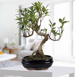 Gorgeous Ficus S shaped japon bonsai  Muş yurtiçi ve yurtdışı çiçek siparişi