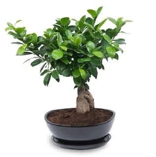 Ginseng bonsai ağacı özel ithal ürün  Muş internetten çiçek satışı